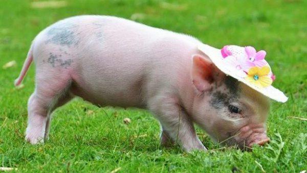 Nằm mơ thấy lợn [Trắng/Quay/Rừng] – Lòng lợn – Thịt lợn – Mổ lợn