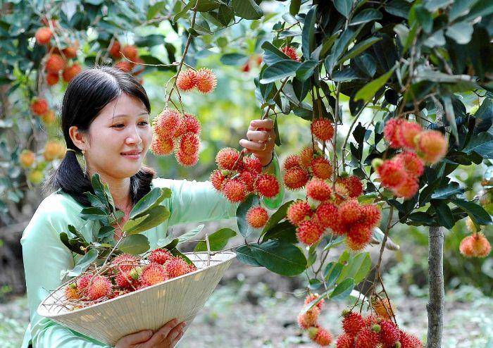 Giải mã giấc mơ: Nằm mơ thấy hái trái cây chín nên đánh con gì?